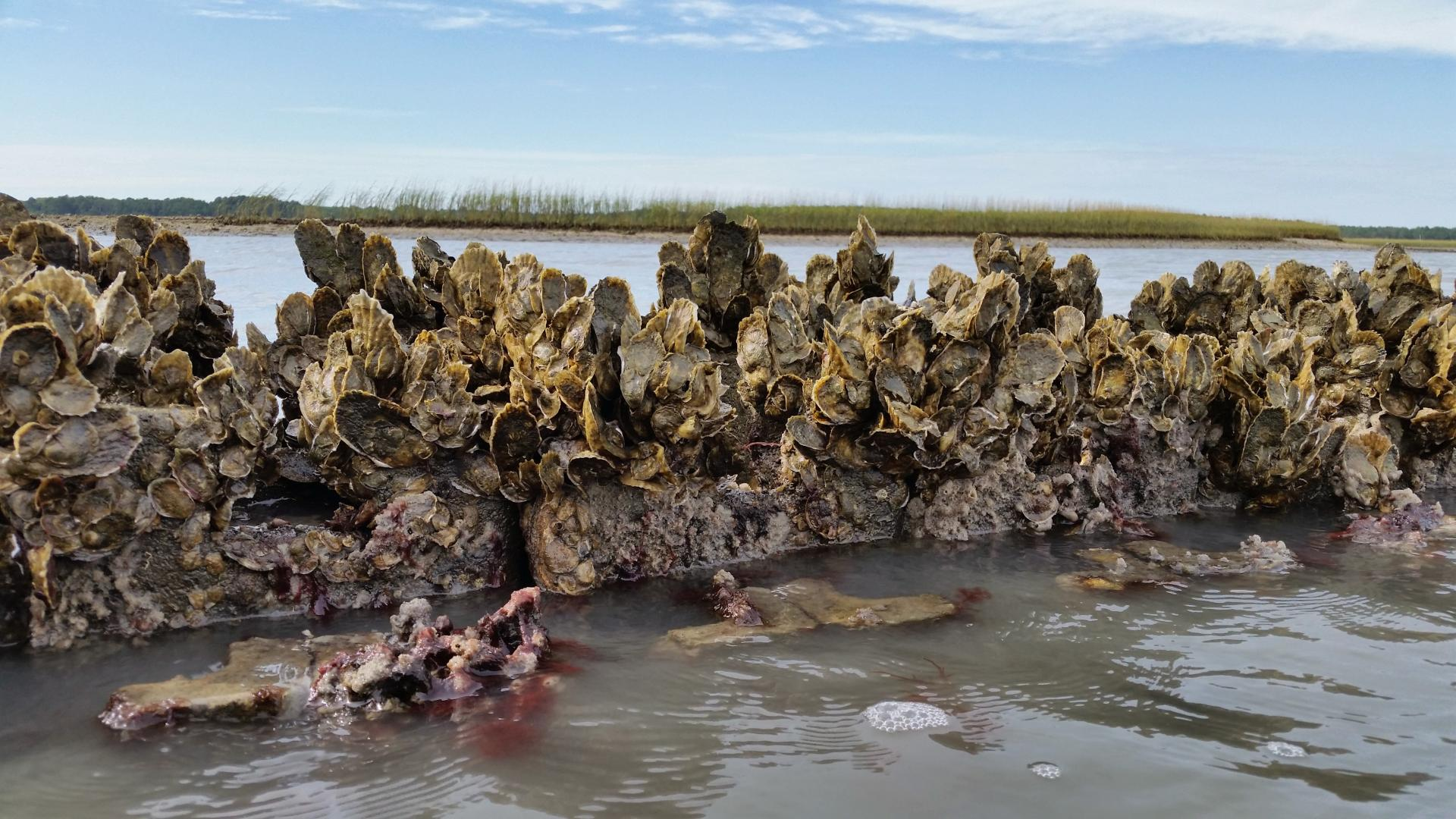 Live oysters growing on oyster castles protecting salt marsh in the background at Box Tree Oyster Sanctuary. Photo credit: Bowdoin Lusk