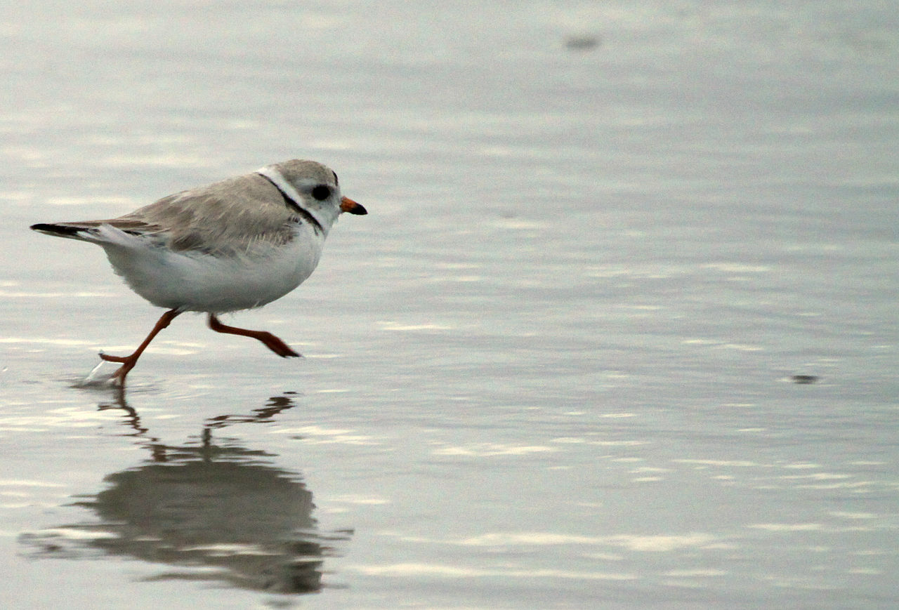 Adult piping plover foraging on beach