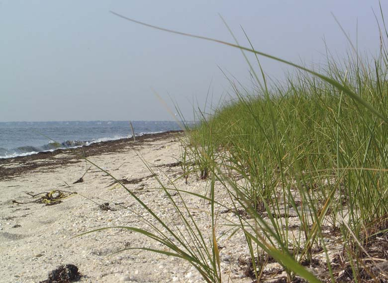 The beach at Heckshire State Park on Great South Bay, Long Island, New York. Great South Bay is situated on the southern coast of Long Island between the barrier reef of Fire Island Nat'l Seashore and the main island. Photo credit: Carl LoBue